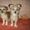 Щенки чихуахуа 3, 5 мес #1206463