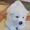Щенки Акита-Ину белого окраса. #1401831