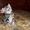 Шотландский любознательный котенок #1511519