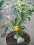 Семена перца комнатного салатного Золотой малютка