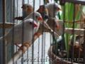 Продажа Волнистых Папугаев