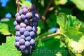 Куплю саженцы винограда
