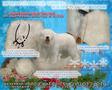 Продаю натуральную,  энергетически чистую шерсть южнорусской овчарки.