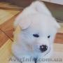 Щенки Акита-Ину белого окраса.