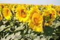 Насіння гібриду соняшника - Армагедон