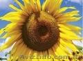 Атілла гібрид соняшнику